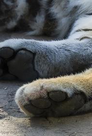В Хабаровском крае нашли обезглавленного амурского тигра