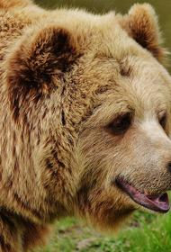 На Сахалине бурого медведя заметили около сельской школы