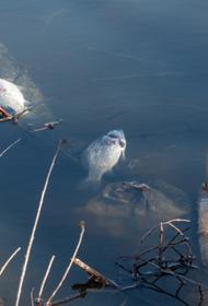 Прокуратура проверит массовую гибель рыбы в хабаровском питомнике