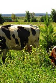 В Тульской области массово гибнут коровы