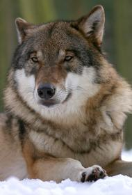 Курганский депутат Хахалов объяснил, почему переехал волка на снегоходе