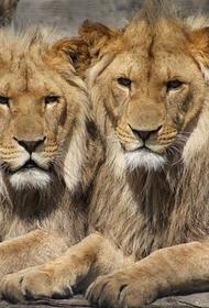 Восемь львов заразились COVID-19 в индийском зоопарке