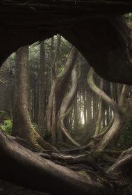 «Танцующий» сосновый лес