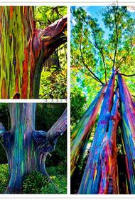 Одно из самых необычных деревьев в мире — эвкалипт радужный