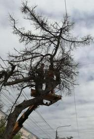 В центре Челябинска спилили столетнее дерево