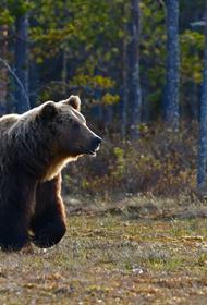 Водитель отрезал коготь сбитому медведю под Хабаровском