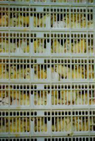 За запах куриного помета в Челябинске оштрафовали птицефабрику