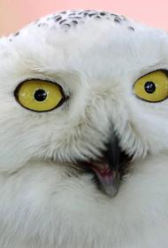 ФСО представила журналистам новую полярную сову, охраняющую Кремль от ворон