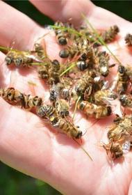 В Башкирии начался массовый мор пчёл
