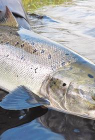 На Дальнем Востоке и в США снизились уловы красной рыбы