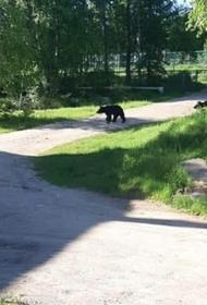 Медведи заглянули на территорию рядом с хабаровским детским лагерем