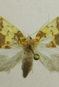 В Хабаровском крае прижилась тропическая бабочка