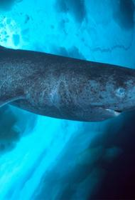 Гренландская полярная акула - 400-летний долгожитель-рекордсмен