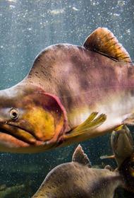 Русская горбуша завоёвывает Норвегию, а потом умирает и отравляет воды норвежских рек