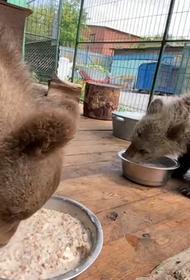 В Хабаровске пройдут реабилитацию спасенные медвежата из Челябинска