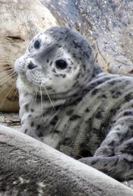 Дальневосточные тюлени могут покрыться угольной пылью