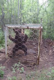 В лесу в Иркутской области люди обнаружили медведя запертого в клетку