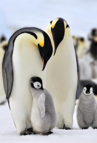 Императорские пингвины могут исчезнуть навсегда