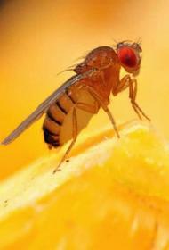 Ученые заставили мух выбирать между сексом и едой