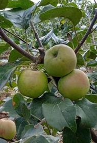 Фруктовое импортозамещение в Приморье обеспечат сады Золотой Долины