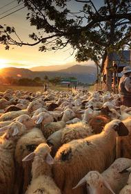 В грузинском селе более 500 овец убило ударом молнии