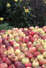 Иерей Илья Боярский рассказал, что нельзя делать с освящёнными на Яблочный спас яблоками