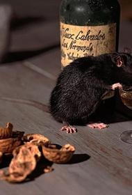 Биологи нашли в голове человека и крысы клетки алкогольной зависимости