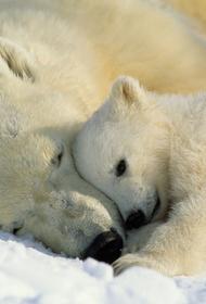Росприроднадзор решил переселить белых медведей подальше от людей