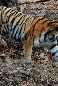 Лесоруб погиб при нападении амурского тигра в Хабаровском крае