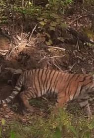 В Хабаровском крае застрелили убившего лесозаготовителя тигра