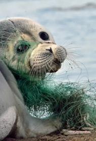Волонтеры на Сахалине спасают морских котиков от смертоносного пластика