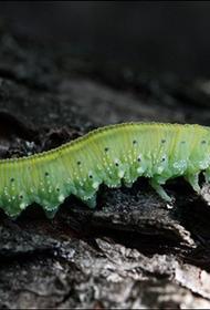 Гусеницы толстеют и умирают из-за яркого уличного освещения