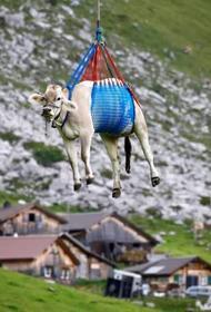 В Швейцарии коров доставляют домой вертолетами – необычно и практично