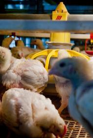 В Челябинской области ввели карантин по птичьему гриппу