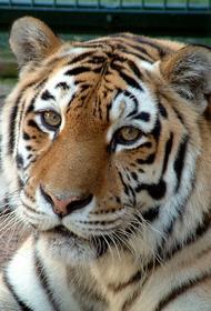 Директор амурского филиала WWF России Осипов заявил, что амурскому тигру больше не грозит исчезновение