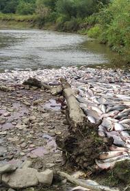 Сахалинские экологи показали последствия браконьерской расправы над горбушей