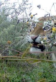 В Хабаровском крае тигр нападает на собак