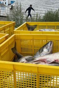 Жители нижнего Амура получили бесплатную рыбу