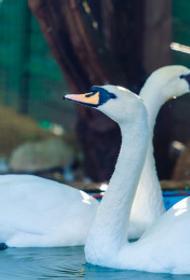 Два гуся и два лебедя скончались в челябинском зоопарке от птичьего гриппа