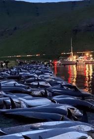 На Фарерских островах прошла крупнейшая охота на дельфинов