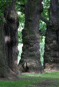 К сожалению, реликтовые дубравы и сосновые леса вырубили наши предки в XVI веке