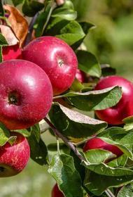 Подмосковные дачники смогут отправить лишние яблоки на переработку