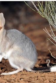 В Австралии восстановили популяцию бандикутов