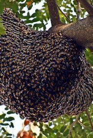 Рой пчел убил 63 пингвина в ЮАР
