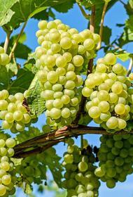 Самый сочный сезон: в Беларуси собирают урожай винограда