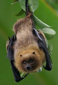 Ученые: летучие мыши из подсемейства Вампировые любят охотиться с друзьями