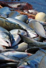 Из-за промышленного улова рыбы в Амуре не осталось кеты