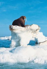 Всемирная перепись моржей началась у арктического побережья Атлантического океана и моря Лаптевых