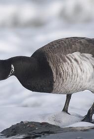 В нацпарке «Русская Арктика» вновь зафиксировали редкие виды птиц