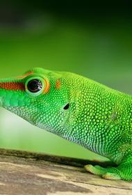 Ученые рассказали, как помогли ящерицам вырастить идеальный хвост